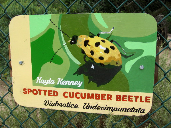 Spotted Cucumber Beetle. Kayla Kenney.