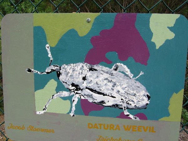 Datura Weevil. Jacob Stoermer.