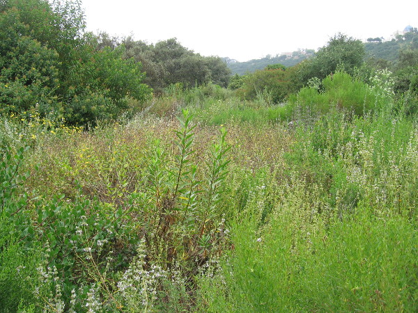 This lush greenery will soon dry out in the Southern California summer and turn mostly brown.