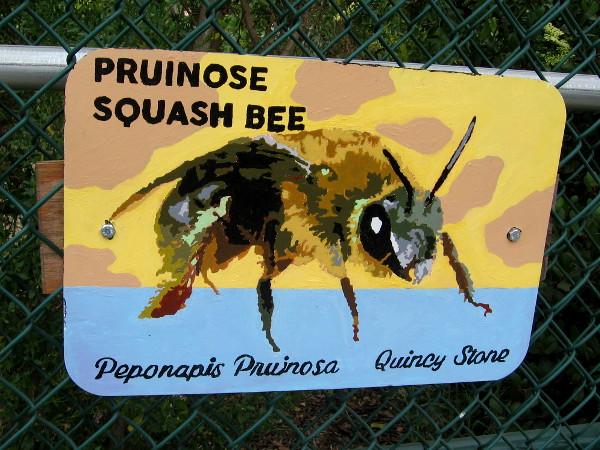 Pruinose Squash Bee. Quincy Stone.
