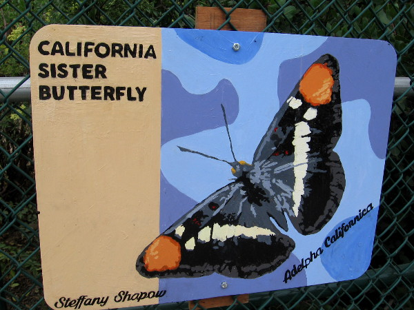 California Sister Butterfly. Steffany Shapow.