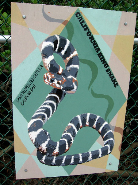 California King Snake.