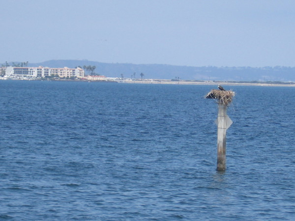 An osprey in its nest out on San Diego Bay.