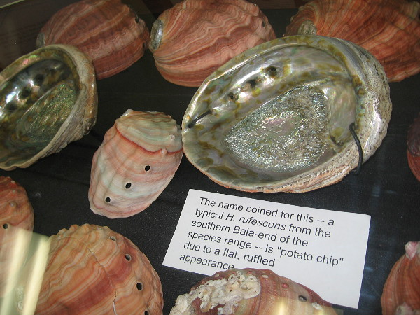 A variety of different colored abalone shells were on display at the show.
