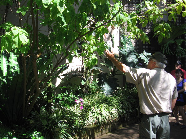 Balboa Park's knowledgeable Ranger Kim Duclo points out an extremely rare specimen of Deppea splendens in the Botanical Building.