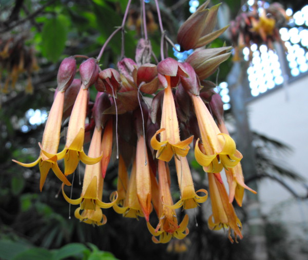 The distinctive flowers of Deppea splendens, a plant that is now extinct in the wild. This public domain photograph is from Wikimedia Commons.