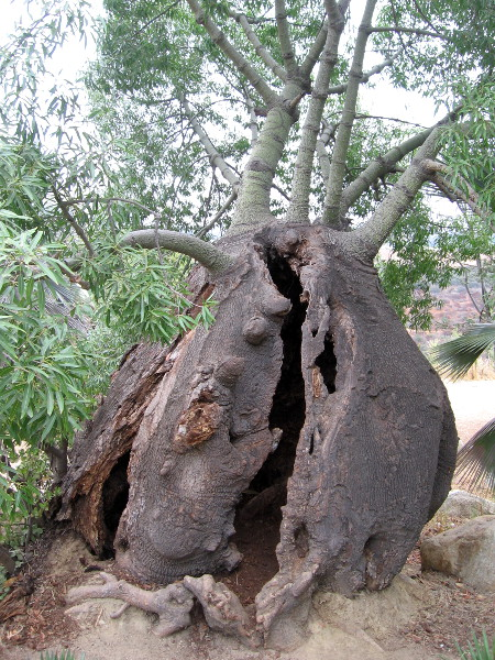 What on earth produced this bizarre, hollow, bulging tree trunk?