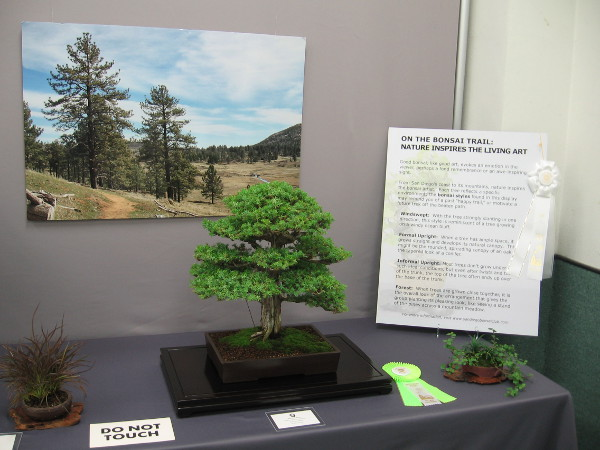 One member of the San Diego Bonsai Club created a cool display that contrasted her bonsai with photos of trees in local landscapes.