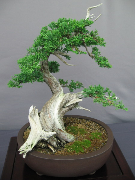 This bonsai Prostrata Juniper has been trained and pruned to appear ancient--the product of wild nature.