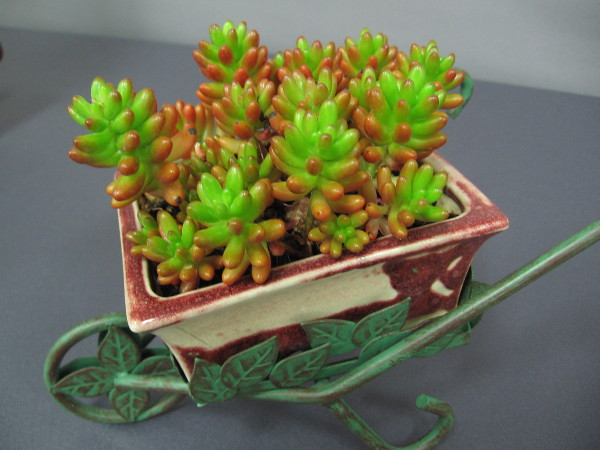 These tiny succulents are in a tiny wheelbarrow!