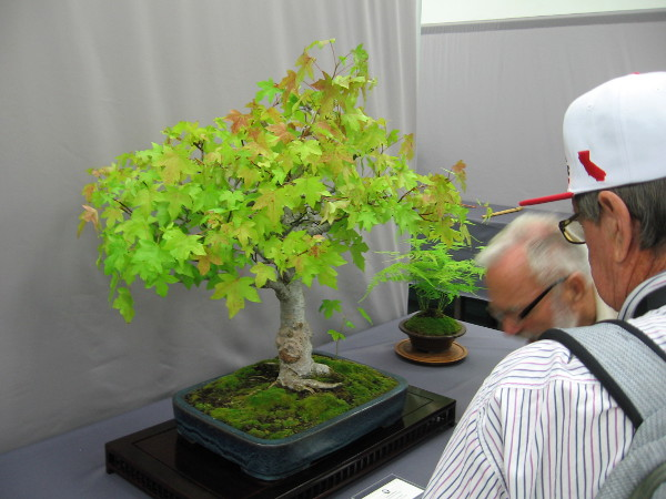 Visitors to the San Diego Bonsai Club exhibition in Balboa Park enjoy looking at a small, very beautiful oriental sweetgum tree.