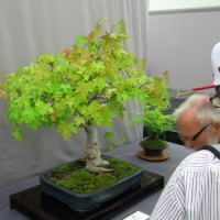 Photos of San Diego Bonsai Club exhibition.