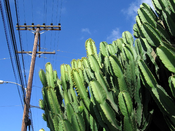 Cacti rise below electrical wires.