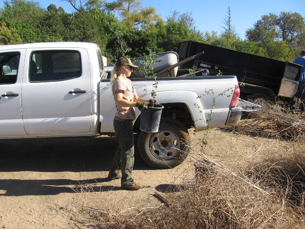 A San Dieguito River Park ranger had brought many pots of native lemonade berry to plant.