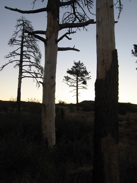 Many of the trees in the Penny Pines grove have died due to an ongoing bark beetle infestation. The recent drought caused many trees in the Cleveland National Forest to struggle, too.