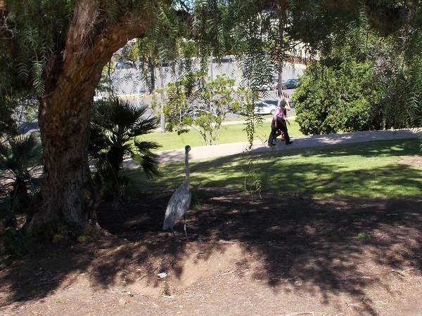 Strangely, a great blue heron stands in the southwest corner of Balboa Park one morning, watching people walk up a path.
