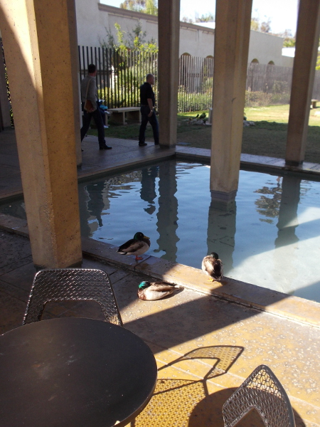 Ducks hang out by the pool in the San Diego Museum of Art's May S. Marcy Sculpture Court.