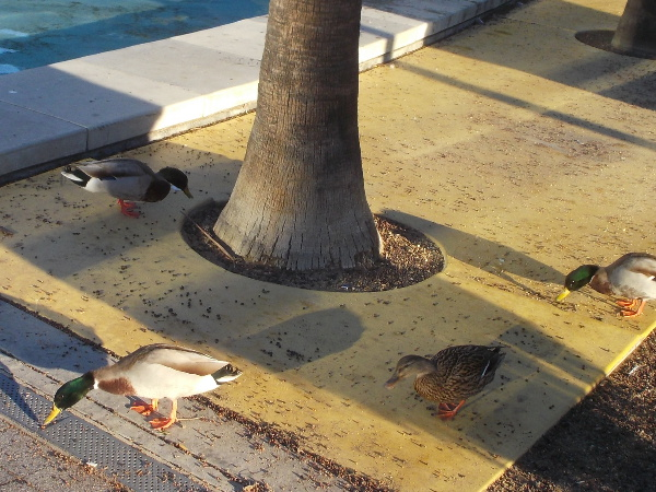 Morning ducks near the Children's Park Fountain.