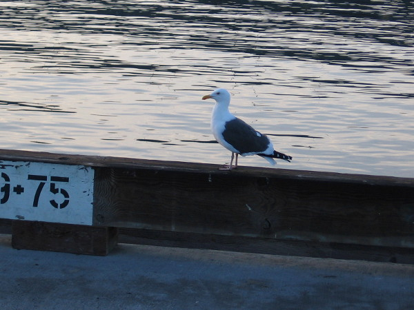 A seagull stands on Broadway Pier over San Diego Bay.