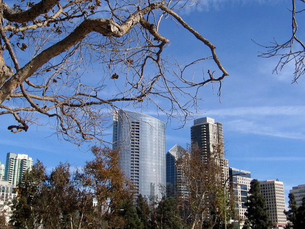 A few dead leaves cling to branches that frame a new skyscraper in downtown San Diego.