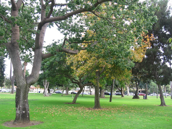 Beautiful autumn trees and grass in Spreckels Park.