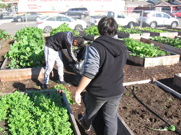 Kids at work on the urban farm.