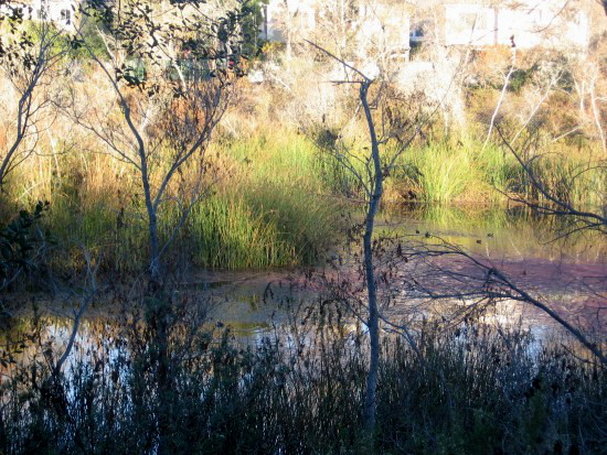Red algae and bright green reeds in San Diego River.