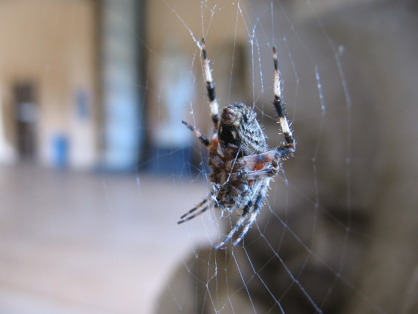 A patient spider waits for flies.