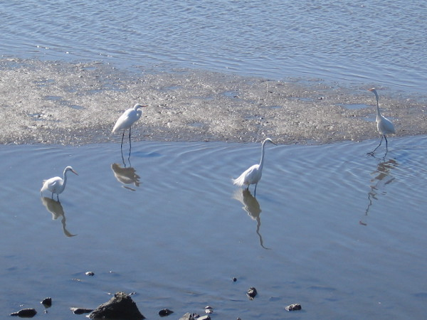 A group of great egrets in the San Diego River Estuary.