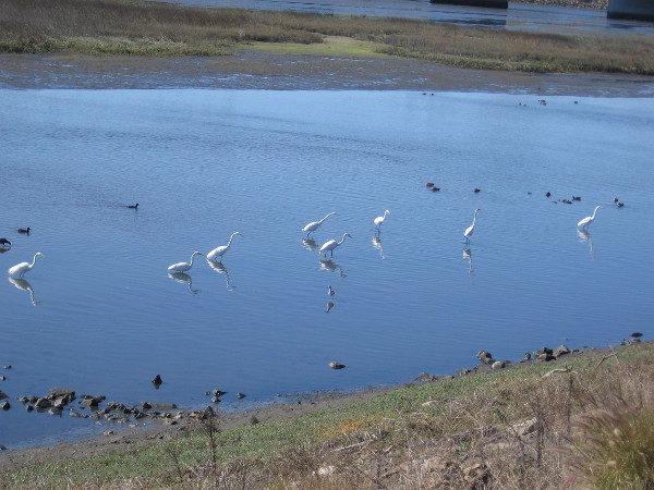 I saw ten great egrets in a loose grouping in the river. They were hunting for fish. At times they would engage in brief, rather harmless scuffles.