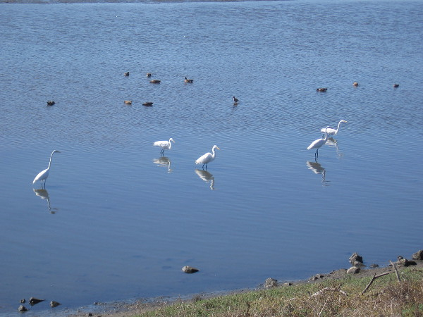 Graceful white egrets in the shallow blue water.