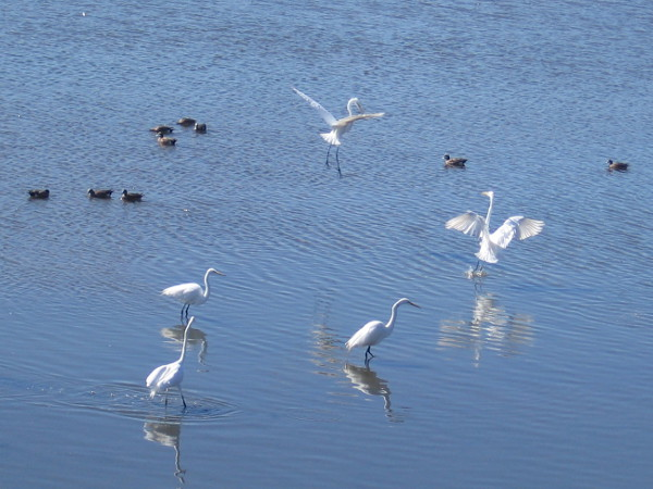 Great egrets flap their wings among river ducks.