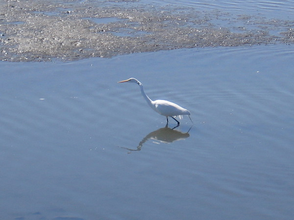 A beautiful great egret stalks through the estuary near a mudflat.