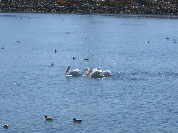 Four white pelicans were cruising along the San Diego River looking for fish.