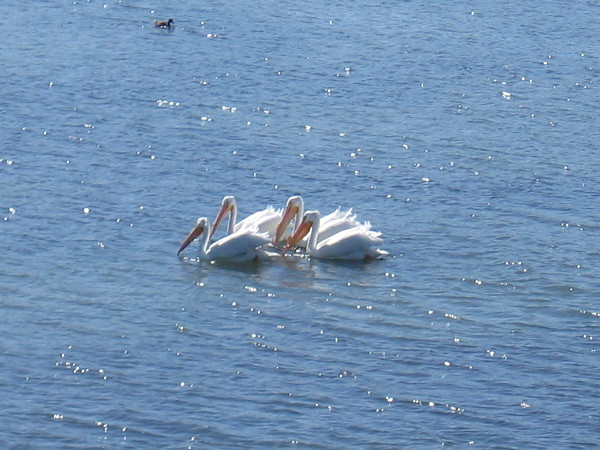 This tight group of pelicans would thrust their heads simultaneously into the water.