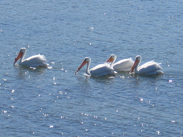 White pelicans only appear in San Diego during their migration. Brown pelicans are the ordinary residents.