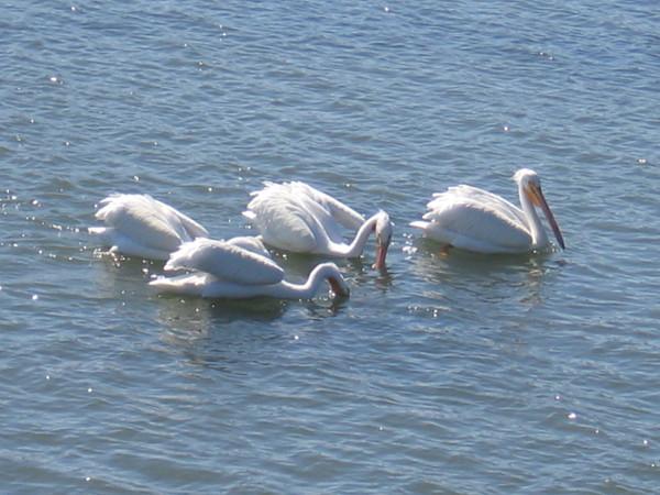 Big pelican beaks dip into the river.