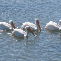 Great egrets and white pelicans on the river!