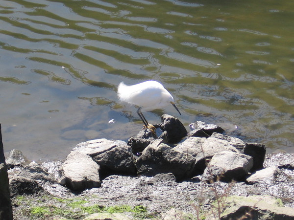 I believe this little guy on the bank of the San Diego River is a snowy egret.