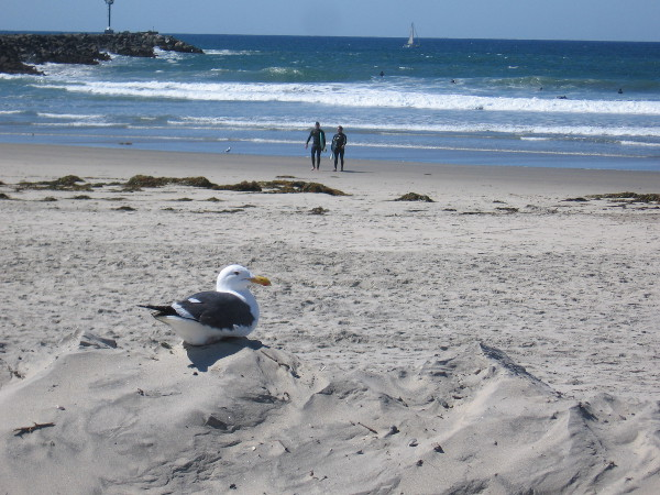 A seagull hangs out on a dune as surfers come in. The South Mission Beach jetty juts into the Pacific Ocean.