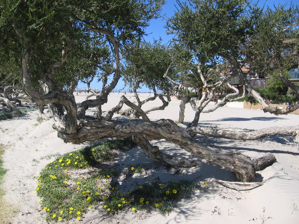 Now I'm circling back on North Jetty Road heading for the boardwalk. A cool windblown tree and flowers in the sand.
