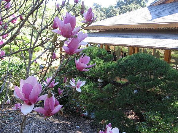 Flowers at the Japanese Friendship Garden near the Inamori Pavilion, where the Art in Bloom exhibition is located.