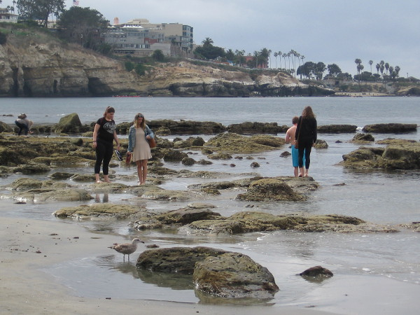 People (and a gull) carefully walk among slippery rocks searching for tiny sea creatures.