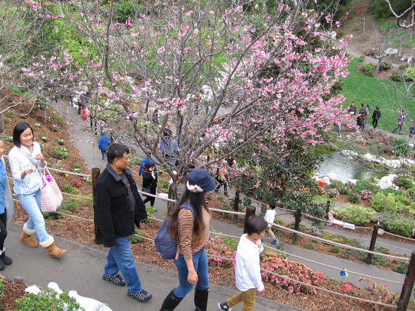 People descend along a path into the beautiful Lower Garden during the 2018 Japanese Friendship Garden's Cherry Blossom Festival.