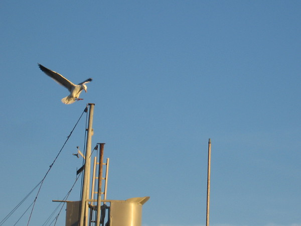 A gull ready to alight upon a mast.