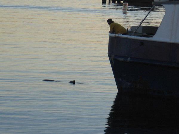 A fisherman and sea lion regard each other.