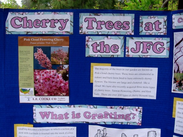 A poster explains Cherry Trees at the JFG. Most in the garden are Pink Cloud cherry trees. They have recently acquired three more types--Taiwan Flowering, Okame and First Lady.