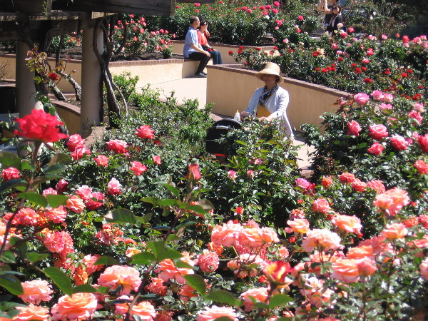 Thousands of beautiful spring roses are in bloom.