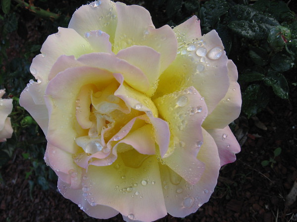 Morning sprinklers have irrigated another perfect rose.