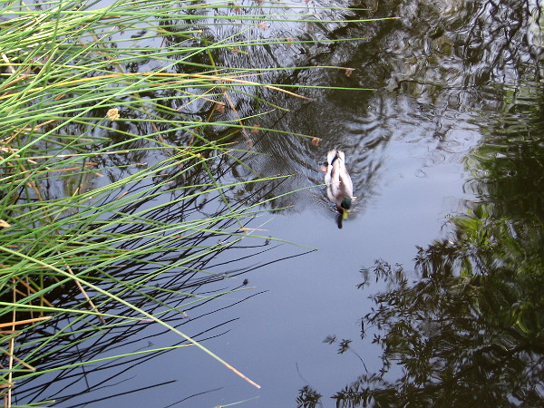 A duck in the San Diego River, as seen from the pedestrian bridge between the Town and Country and the Fashion Valley Transit Center.